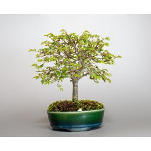 盆栽 ケヤキ盆栽 欅(けやき・ミニ盆栽 箒立ち欅)小品盆栽 4111 e-bonsai