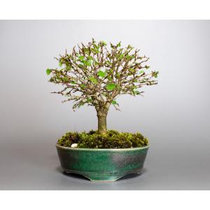 盆栽 ケヤキ盆栽 欅(けやき・ミニ盆栽 箒立ち欅)小品盆栽 4112|e-bonsai