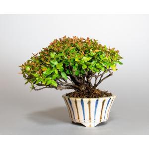 ミニ盆栽 チリメンカズラ盆栽 縮緬葛(ちりめんかずら・盆栽 縮緬葛)小さな盆栽 4116 e-bonsai