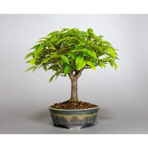盆栽 ケヤキ盆栽 欅(けやき・ミニ盆栽 箒立ち欅)小品盆栽 4118 e-bonsai