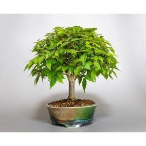 盆栽 ケヤキ盆栽 欅(けやき・ミニ盆栽 箒立ち欅)小品盆栽 4119 e-bonsai