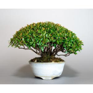 盆栽 チリメンカズラ盆栽 縮緬葛(ちりめんかずら・ミニ盆栽 縮緬葛)4124 e-bonsai