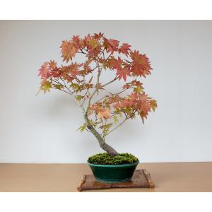 盆栽 ヤマモミジ盆栽 紅葉(山紅葉 盆栽)やまもみじ盆栽 4127|e-bonsai