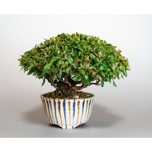 盆栽 チリメンカズラ盆栽 縮緬葛(ちりめんかずら・ミニ盆栽 縮緬葛)4128 e-bonsai