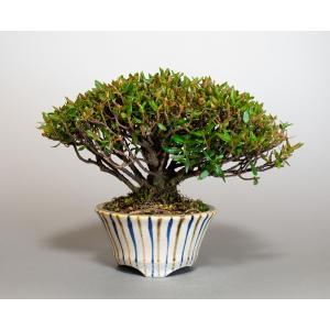 盆栽 チリメンカズラ盆栽 縮緬葛(ちりめんかずら・ミニ盆栽 縮緬葛)4129 e-bonsai