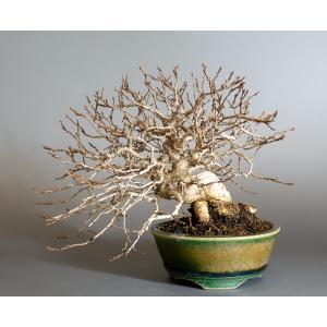 盆栽 イワシデ盆栽(いわしで・岩四手 盆栽)小品盆栽 4148|e-bonsai