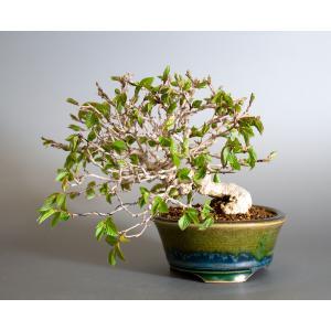 盆栽 イワシデ盆栽(岩四手 盆栽)小品盆栽 4152|e-bonsai