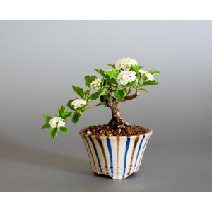 豆盆栽 イブキシモツケ盆栽 伊吹下野(いぶきしもつけ・小さな盆栽 伊吹下野)小盆栽 4155|e-bonsai