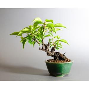 盆栽 ヤバイ盆栽(やばい・野梅 盆栽)ミニ盆栽 小品盆栽 4156|e-bonsai