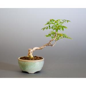 ミニ盆栽 コフジ盆栽 小藤(こふじ・小さな盆栽 小藤)小盆栽 4166 e-bonsai