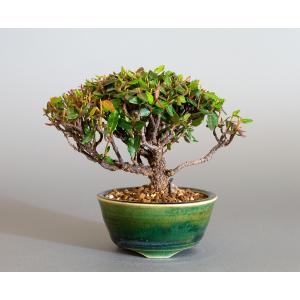 ミニ盆栽 チリメンカズラ盆栽 縮緬葛(ちりめんかずら・盆栽 縮緬葛)小さな盆栽 4169 e-bonsai