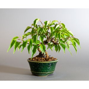 盆栽 コウシュウヤバイ盆栽(こうしゅうやばい・甲州野梅 盆栽)ミニ盆栽 小品盆栽 4170|e-bonsai