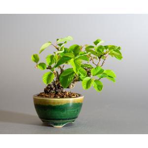 ミニ盆栽 クマヤナギ盆栽 熊柳(くまやなぎ・ミニ盆栽 熊柳) 小さな盆栽 4171 e-bonsai
