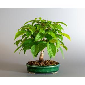 盆栽 カナシデ盆栽 金四手(かなしで・ミニ盆栽 熊四手)小さな盆栽 4172|e-bonsai