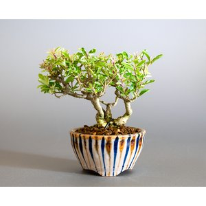 ミニ盆栽 斑入りイボタノキ盆栽 水蝋の木(いぼたのき・ミニ盆栽 水蝋の木)小さな盆栽 4173 e-bonsai