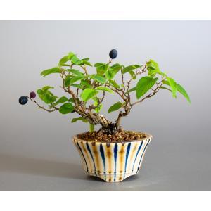 ミニ盆栽 クマヤナギ盆栽 熊柳(くまやなぎ・ミニ盆栽 熊柳) 小さな盆栽 4174 e-bonsai
