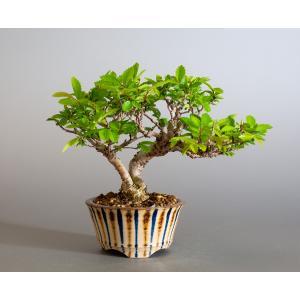 盆栽 ニレケヤキ盆栽(にれけやき・ミニ 楡欅盆栽)小品盆栽 4175|e-bonsai