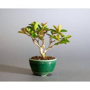 ミニ盆栽 サルスベリ盆栽 百日紅(さるすべり・小さな盆栽 百日紅)小盆栽 4176 e-bonsai