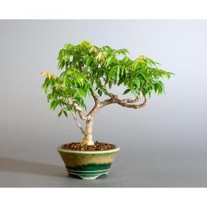 盆栽 コフジ盆栽(こふじ・ミニ 小藤盆栽)小品盆栽 4177|e-bonsai