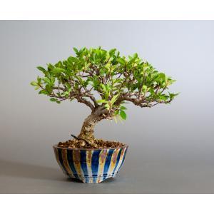 盆栽 ニレケヤキ盆栽(にれけやき・ミニ 楡欅盆栽)小品盆栽 4179|e-bonsai