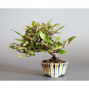 盆栽 カングミ盆栽(かんぐみ・ミニ 小葉性寒茱萸盆栽)小品盆栽 4180|e-bonsai