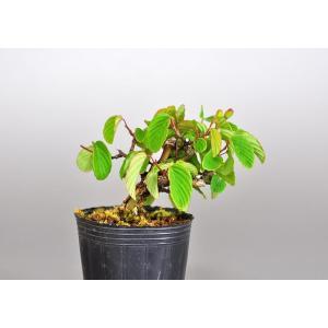 盆栽用苗 盆栽素材 クマヤナギ盆栽 ミニ盆栽素材(くまやなぎ・盆栽 熊柳)7098 e-bonsai