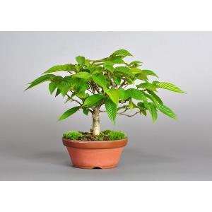 盆栽用苗 盆栽素材 カナシデ盆栽 ミニ盆栽素材(かなしで・盆栽 金四手)7110 e-bonsai