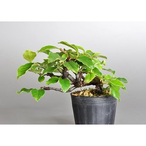 盆栽用苗 盆栽素材 カリン盆栽 ミニ盆栽素材(かりん・盆栽 花梨)7114 e-bonsai