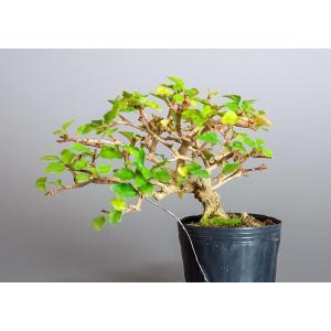 盆栽用苗 盆栽素材 ニオイカエデ盆栽 ミニ盆栽素材(においかえで・盆栽 匂い楓)7127 e-bonsai