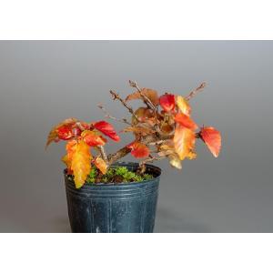 盆栽用苗 盆栽素材 イワシデ盆栽 豆盆栽素材(いわしで・盆栽 岩四手)7141 e-bonsai