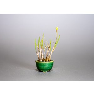 草もの盆栽 ヤマラッキョウ草盆栽 山辣韮(やまらっきょう・草盆栽 山辣韮) 草盆栽 k0001|e-bonsai