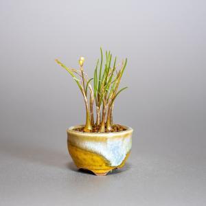 草もの盆栽 ヤマラッキョウ草盆栽 山辣韮(やまらっきょう・草盆栽 山辣韮) 草盆栽 k0002|e-bonsai