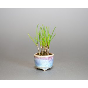 草もの盆栽 ヤマラッキョウ草盆栽 山辣韮(やまらっきょう・草盆栽 山辣韮) 草盆栽 k0004|e-bonsai