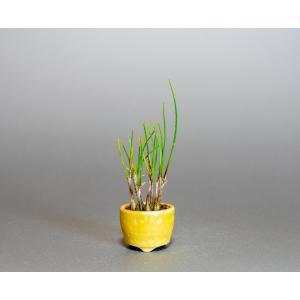 草もの盆栽 ヤマラッキョウ草盆栽 山辣韮(やまらっきょう・草盆栽 山辣韮) 草盆栽 k0005|e-bonsai