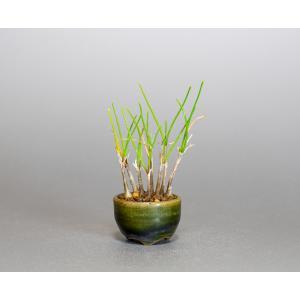 草もの盆栽 ヤマラッキョウ草盆栽 山辣韮(やまらっきょう・草盆栽 山辣韮) 草盆栽 k0006|e-bonsai