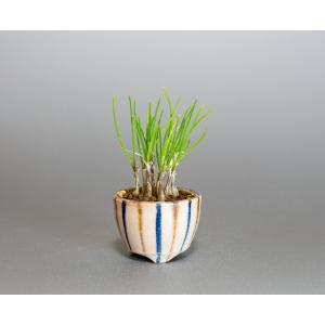草もの盆栽 ヤマラッキョウ草盆栽 山辣韮(やまらっきょう・草盆栽 山辣韮) 草盆栽 k0007|e-bonsai