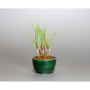草もの盆栽 ヤマラッキョウ草盆栽 山辣韮(やまらっきょう・草盆栽 山辣韮) 草盆栽 k0008|e-bonsai