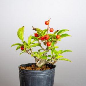 盆栽用苗 盆栽素材 ウメモドキ盆栽 ミニ盆栽素材(うめもどき・盆栽 梅擬)m0001 e-bonsai