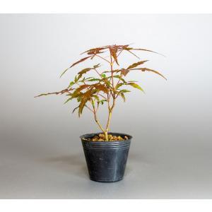 盆栽用苗 盆栽素材 紅鏡もみじ盆栽 豆盆栽素材(べにかがみ紅葉・盆栽 紅鏡もみじ)m0002 e-bonsai
