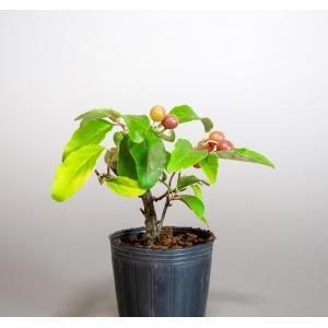 盆栽用苗 盆栽素材 アキグミ盆栽 ミニ盆栽素材(あきぐみ盆栽 秋茱萸)m0003 e-bonsai