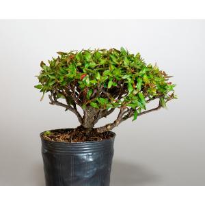 盆栽用苗 盆栽素材 チリメンカズラ盆栽 ミニ盆栽素材(ちりめんかずら・盆栽 縮緬葛)m0030 e-bonsai