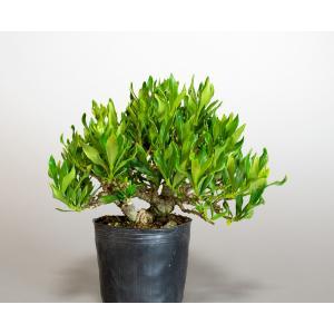 盆栽用苗 盆栽素材 クチナシ盆栽 ミニ盆栽素材(くちなし・盆栽 梔子)m0035 e-bonsai