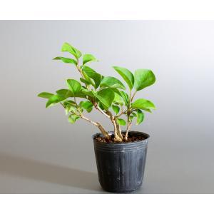 盆栽用苗 盆栽素材 ヒメライラック盆栽 ミニ盆栽素材(らいらっく・盆栽 姫ライラック)m0059 e-bonsai