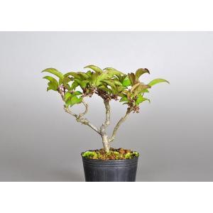 雄木(交配用)ogi0001 ウメモドキ(うめもどき・梅擬盆栽)|e-bonsai