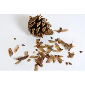 盆栽種子 アカマツの種子・赤松・あかまつ盆栽 種子・s015 |e-bonsai