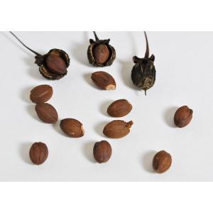 盆栽種子 エゴノキの種子・売子の木・えごのき盆栽 種子・s026|e-bonsai