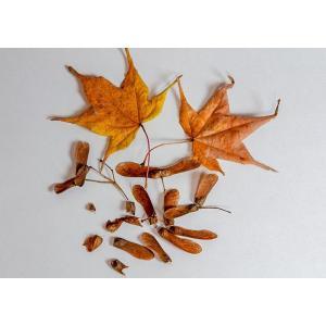 盆栽種子 オオモミジの種子・大紅葉・おおもみじ盆栽 種子・s030|e-bonsai