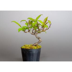 雄木(交配用)ウメモドキ(うめもどき・梅擬盆栽雄木)u0002|e-bonsai