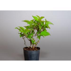 雄木(交配用)ウメモドキ(うめもどき・梅擬盆栽雄木)u0003|e-bonsai