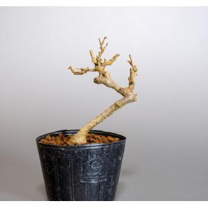 雄木(交配用)ウメモドキ(うめもどき・梅擬盆栽雄木)u0004|e-bonsai